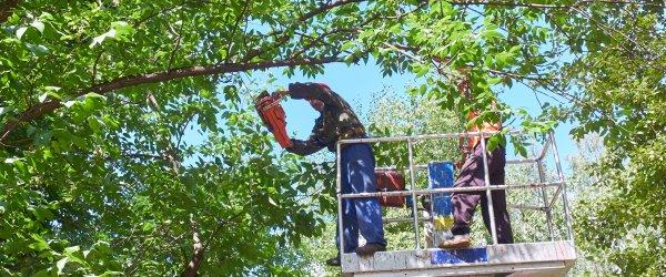 elagueur arbre
